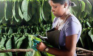 1 de Junio, celebramos el Día del Trabajador Tabacalero