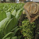 Capacitación sobre buenas prácticas para el manejo de plagas y enfermedades en el cultivo de tabaco