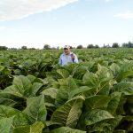 Los campos de tabaco